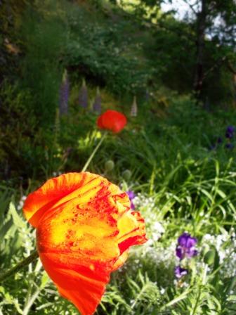 Poppy - Castlegar