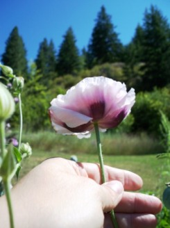 Mountain Poppy - Castlegar