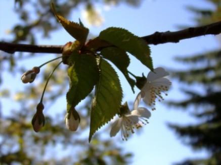 Cherry III - Castlegar