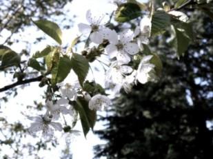 Cherry I - Castlegar